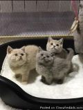 Available Stunning British Shorthair Kittens For Sale