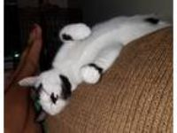 Adopt Lily a Black & White or Tuxedo Domestic Shorthair (short coat) cat in E.
