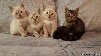 JHGLK Bengal Kittens For Sale