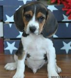 practical BEAGLE puppies ready...