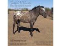 2010 Bay Appaloosa Stallion