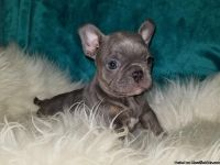 FRENCHTON PUPPIES (Merles)