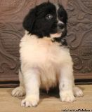 SDFGEGF NEWFOUNDLAND PUPPIES AVAILABLE FOR SALE Text: (4O4) 692 XX 3714