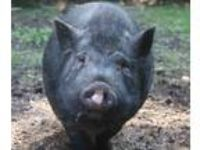 Adopt Hillshire Farms a Pig (Potbellied) farm-type animal in Columbia Station