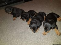 Quality Champion AKc Reg Rottweiler Pups