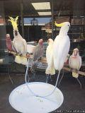 Dxaszw Umbrella Cockatoo Birds for sale