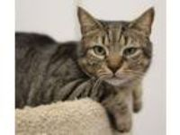 Adopt Pistil a Domestic Short Hair