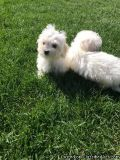 GOOD, Caring, Loving 2 Maltese Puppies Available