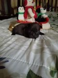 French Bulldog PUPPY FOR SALE ADN-57570 - Chocolate Perfection