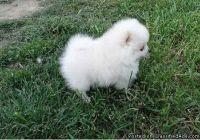 ertgevfoi Pomeranian puppies for sale