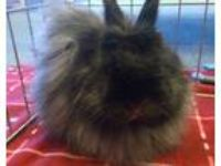 Adopt Harmony a Black Jersey Wooly / Mixed (long coat) rabbit in Seattle c/o
