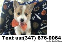 Enhanced B/G Adorable Pembroke Welsh Corgi Puppies For Sale