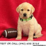 QFZS(#!*^)Supportive Labrador Retriever Puppies