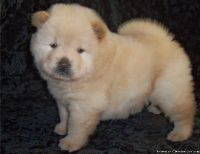 XWXE dependable Chow Chow Puppies