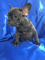French Bulldog PUPPY FOR SALE ADN-63704 - Amazing beautiful French bulldog puppies