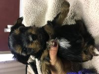 Cute male and female yorkie puppies for adoption
