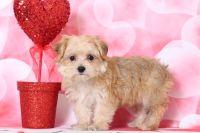 Morkie PUPPY FOR SALE ADN-63453 - Bailey Pretty Female Morkie Puppy