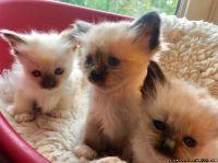 Beautiful Birman kittens Available