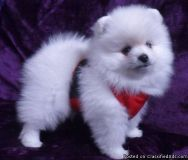 qqgafgrfsfggv Abounding Teacup Pomeranian Puppies Ready for sale