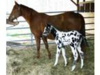 Echos Capitol Copy Excellent Broodmare