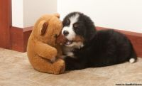 FHFSDF BERNESE MOUNTAIN DOG puppies available for sale Text: (4O4) 692 XX 3714