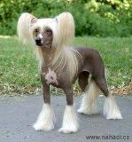 in search of Chinese crested puppy (big spring tx)