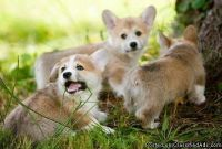 ADORED Pembroke Welsh Corgi Puppies Ready For A New Home ((408)) 681 x 9332.