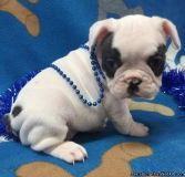 tynio French Bulldog Puppies Ready now