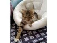 Adopt Emma a Tan or Fawn Tabby Domestic Shorthair (short coat) cat in