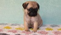 Adorable Little AKC Registered Pug Puppies