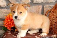 Intelligent Pembroke Welsh Corgi puppies for sale