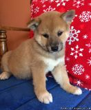 Intelligent Shiba Inu Puppies Available Now