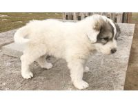 PUREBRED GREAT PYRENEES PUPPIES - READY TO ...