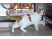 Adopt Cider a Orange or Red (Mostly) Domestic Shorthair (short coat) cat in