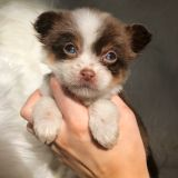 Chihuahua PUPPY FOR SALE ADN-62979 - Chihuahua Puppy