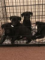 Whippet PUPPY FOR SALE ADN-62022 - English bred pups