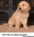 NOW%100 Golden retriever puppies for sale