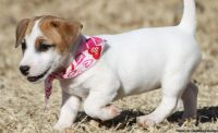 Adorable Male/Female AKC Jack Russel Terrier Puppies