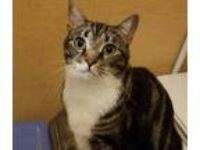 Adopt EMMIE a Tiger Striped Domestic Shorthair (short coat) cat in Diamond Bar
