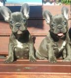 French Bulldog PUPPY FOR SALE ADN-48358 - Beautifulrare French Bulldog puppies available