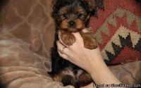 Wonderfully Trained Teacup Yorkshire Terrier Puppies