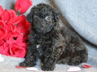 Lhasa-Poo PUPPY FOR SALE ADN-64378 - Lhasapoo Puppy for Sale