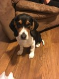 Beagle PUPPY FOR SALE ADN-56073 - 4 Month Old Male Beagle ORION