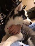 Siberian Husky PUPPY FOR SALE ADN-55156 - Husky Puppies