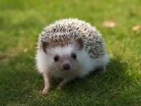 Looking for a hedgehog