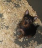 Yorkshire Terrier PUPPY FOR SALE ADN-55301 - Yorkshire Terrier Male Puppy