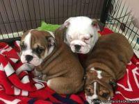 BEAUTIFUL ENGLISH BULLDOG BLUE PUPPIES FOR ADOPTION