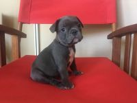 French Bulldog PUPPY FOR SALE ADN-62714 - Frenchies are Ready for their New Home