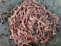Redworms for Sale