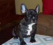 French Bulldog PUPPY FOR SALE ADN-54652 - French Bulldog AKC Male Brindle